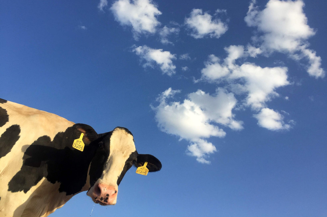 A cow looking at the camera under a blue sky